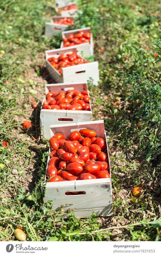 Ausgewählte Tomaten in Kisten Gemüse Essen Sommer Garten Arbeit & Erwerbstätigkeit Natur Pflanze Holz Wachstum frisch grün rot Bauernhof Ackerbau Lebensmittel