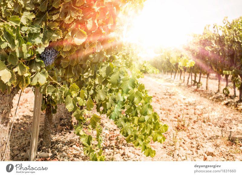 Weinberge am Sonnenuntergang. Ferien & Urlaub & Reisen Sommer Natur Landschaft Pflanze Herbst Wachstum heiß hell rot Rochen Weingut Bauernhof Ackerbau Feld
