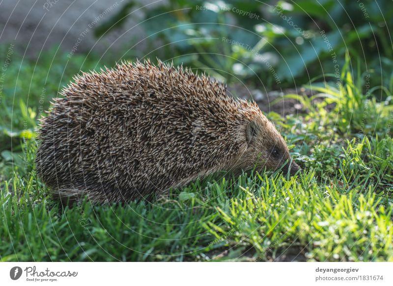 Igel Natur Pflanze Sommer grün Tier Wald natürlich Gras klein Garten braun wild Rasen Jahreszeiten Säugetier stachelig