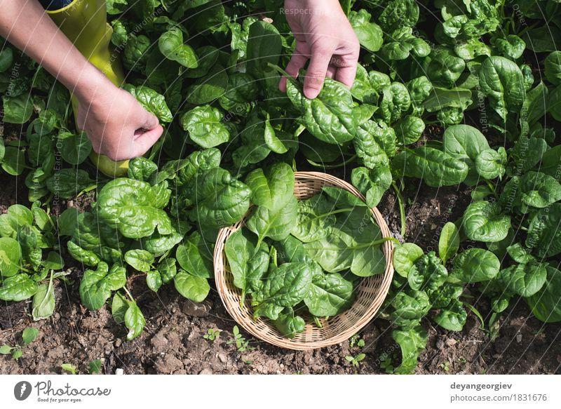 Spinat in einem Hausgarten auswählen Gemüse Garten Gartenarbeit Hand Natur Landschaft Pflanze Blatt Wachstum frisch natürlich grün organisch Kommissionierung