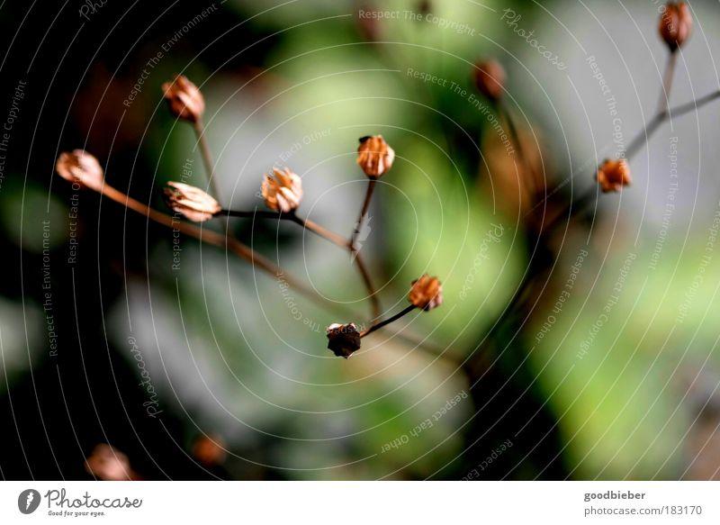 verblüht Natur grün Pflanze Wärme Herbst Blüte braun Kraft elegant Wachstum ästhetisch Spitze weich nah Blütenknospen Menschenleer