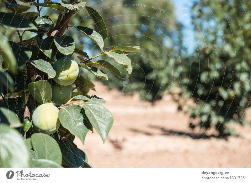 Persimonebäume. Frucht Diät Garten Natur Pflanze Herbst Baum Wachstum frisch natürlich neu grün Persimonen reif orange Lebensmittel Gesundheit süß fallen