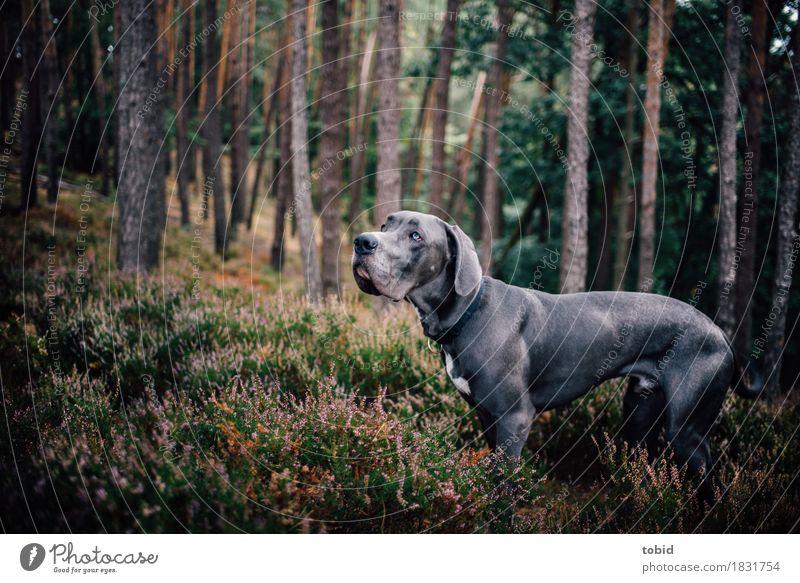 Meister Schlappohr Pt.9 Natur Landschaft Pflanze Baum Gras Sträucher Moos Wald Hügel Haustier Hund 1 Tier beobachten Blick stehen sportlich Deutsche Dogge grau