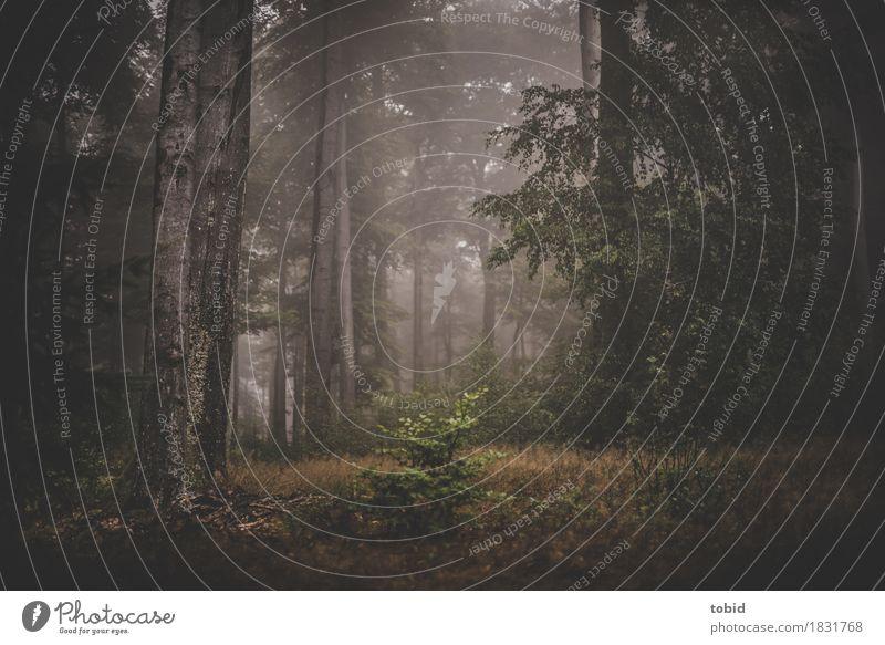 Herbstzauber Natur Pflanze Baum Landschaft dunkel Wald Gras Nebel Baumstamm mystisch Nebelschleier Nebelwald