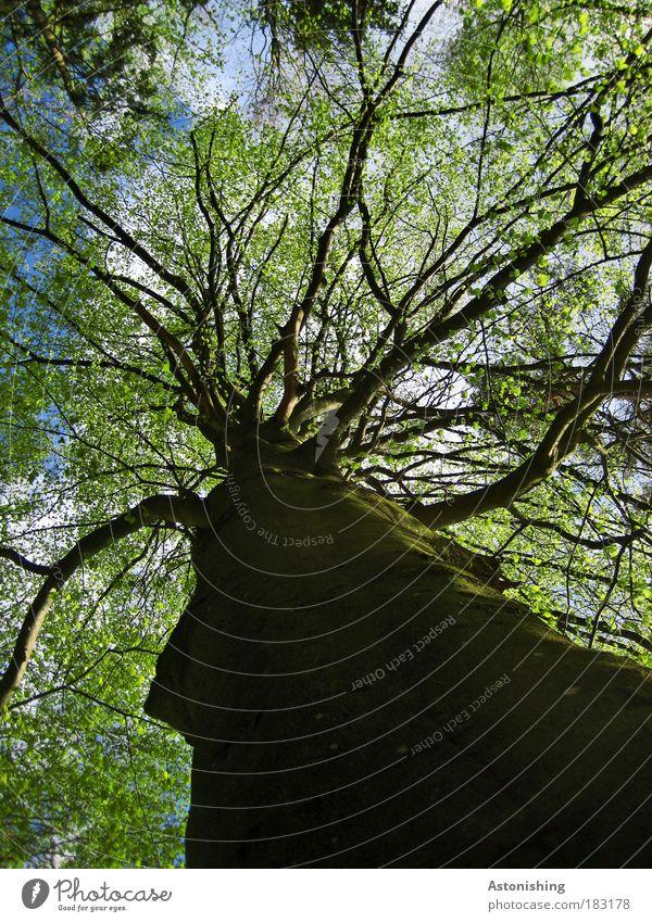 stark verzweigt Umwelt Natur Pflanze Luft Sommer Baum Blatt Grünpflanze Wachstum hell hoch braun grün schwarz Ast Geäst Laubbaum Baumstamm Farbfoto