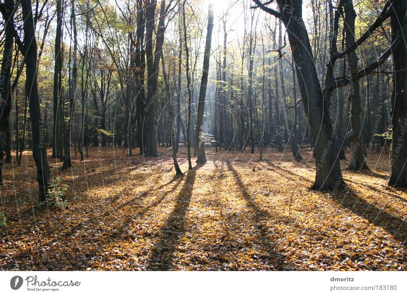 Laubwald im Licht Farbfoto Außenaufnahme Menschenleer Textfreiraum unten Tag Schatten Kontrast Sonnenlicht Sonnenstrahlen Gegenlicht Zentralperspektive Natur