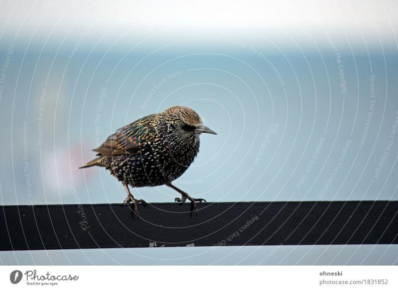 Ich bin ein Star! Wildtier Vogel Singvögel 1 Tier dick Farbfoto mehrfarbig Außenaufnahme Textfreiraum rechts Textfreiraum oben Textfreiraum unten Freisteller