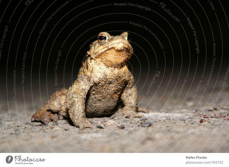 Strammer Max Natur Wasser ruhig Tier springen braun Erde Haut warten ästhetisch stehen Wissenschaften Frosch Teich Ekel Gartenarbeit