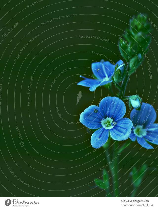 Melancholie Natur Pflanze Blume Blüte Wildpflanze Ehrenpreis Gamander-Ehrenpreis Park Wiese Blühend Wachstum wild blau grün Einsamkeit Farbfoto Innenaufnahme