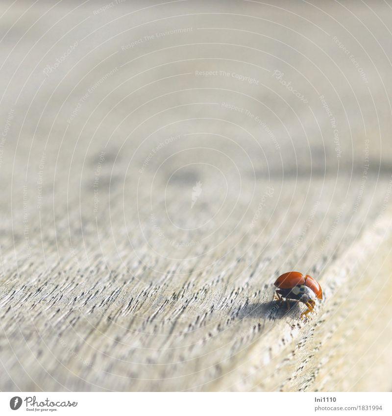 Marienkäfer Wildtier Käfer Tiergesicht Flügel 1 schön natürlich braun grau orange rot schwarz weiß Glücksbringer Herbst Insekt Tischkante Farbfoto Außenaufnahme