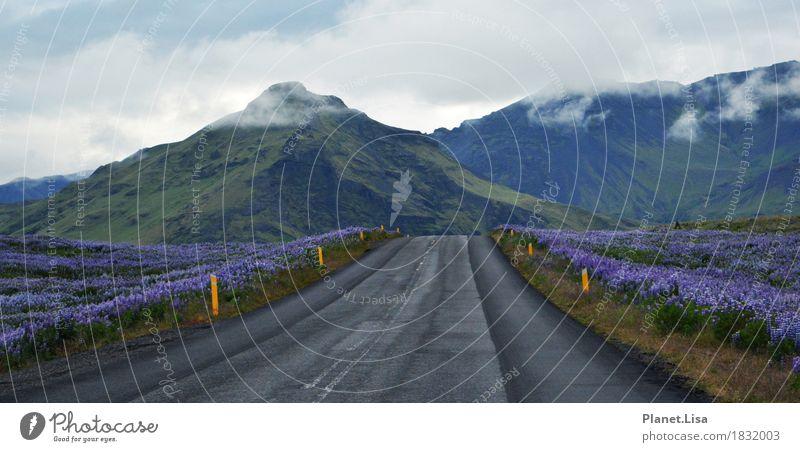 unterwegs - on the road Natur Landschaft Tier Luft Himmel Wolken Frühling Sommer Klima Schönes Wetter Blume Blüte Wildpflanze Lupine Lupinenfeld Insel Island
