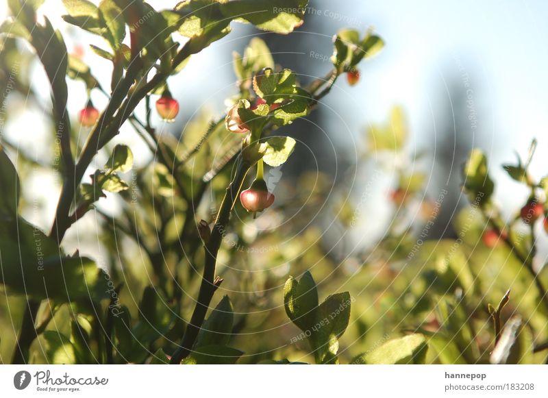 klingeling Natur Pflanze Blatt Frucht frisch hängen Schwäche