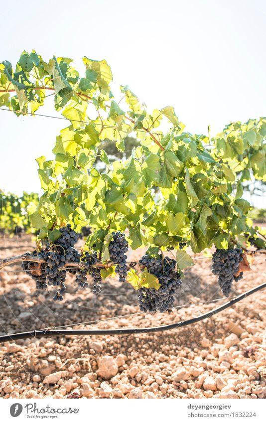 Weintrauben Natur Ferien & Urlaub & Reisen Pflanze Sommer grün Landschaft rot Blatt Herbst Tourismus Frucht Wachstum frisch Bauernhof Ernte ländlich