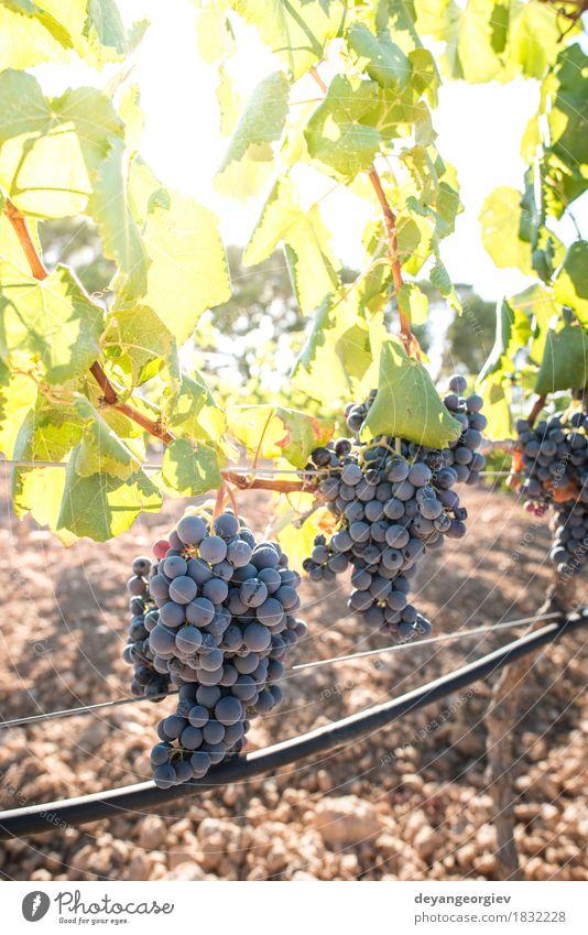 Weintrauben Frucht Ferien & Urlaub & Reisen Tourismus Sommer Natur Landschaft Pflanze Herbst Blatt Wachstum frisch grün rot Weinberg Reben Weingut Ernte