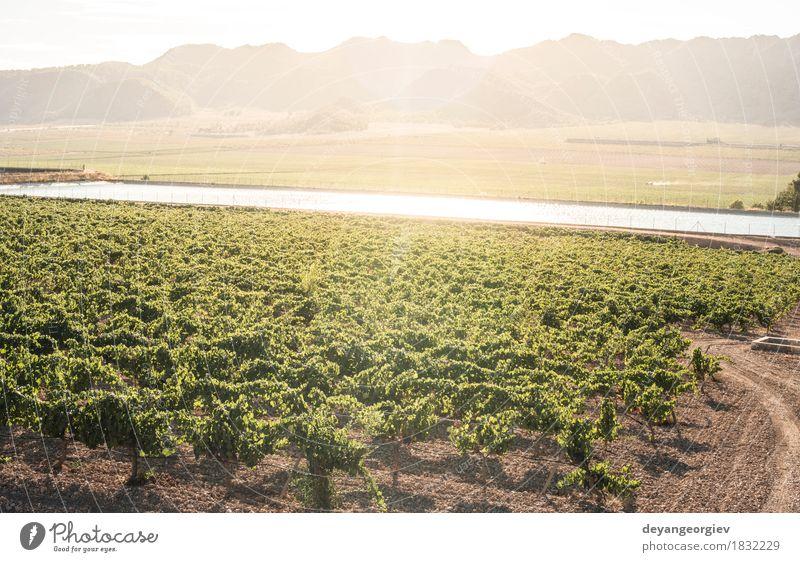 Weinberge bei Sonnenuntergang Frucht Industrie Technik & Technologie Natur Pflanze Erde Blatt Fluss Wachstum nass grün Bewässerung Kanal Druckrohrleitung Rochen