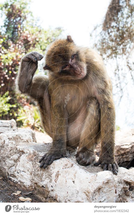 Barbary-Makaken-Affe Frau Erwachsene Mann Natur Tier Felsen niedlich wild Berberei Menschenaffen Affen Gibraltar Primas Tierwelt Macaca jung Säugetier Lebewesen