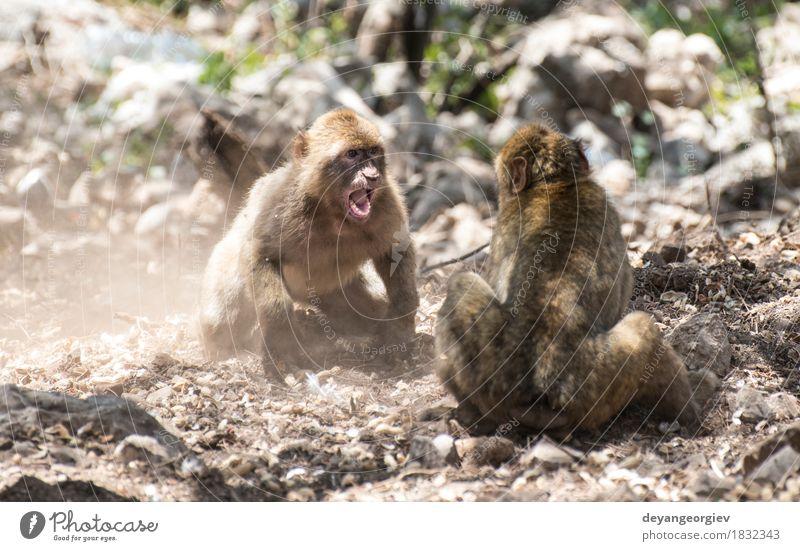 Barbary Makaken, die kämpfen Glück Spielen Natur Tier Erde Baum Wald Urwald klein lustig niedlich wild Affen Boxsport Tierwelt Primas Eichhörnchen Säugetier