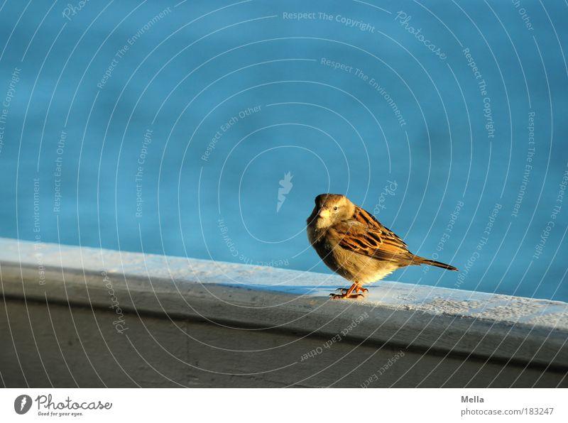 Lieber den Spatz auf der Reling ... Wasser Meer blau Tier Vogel Küste klein 1 Umwelt frei sitzen beobachten Neugier niedlich Freundlichkeit Geländer