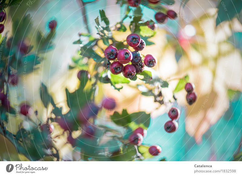 Reserve Natur Landschaft Sonnenlicht Herbst Schönes Wetter Pflanze Wildpflanze Weissdorn Garten Wachstum ästhetisch natürlich grün rot türkis Fröhlichkeit reif