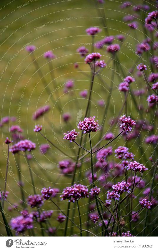 Herbstleuchten Umwelt Natur Pflanze Gras Blüte Stengel Park Wiese grün violett Blumenbeet sanft dunkel dunkle Stimmung Kontrast Blumenstrauß pflücken Wachstum