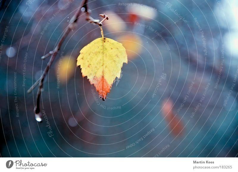 abgesang Natur Blatt Einsamkeit Färbung Farbe gelb rot Pastellton Zweige u. Äste Tropfen hängend Vergänglichkeit Herbst kalt schön einzeln mehrfarbig Abschied