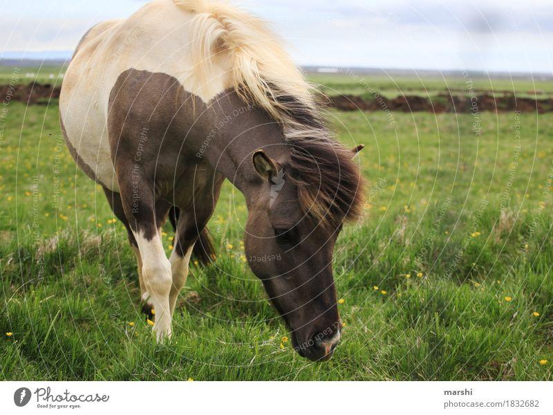 Isländer Natur Landschaft Wiese Feld Tier Nutztier Wildtier Pferd Tiergesicht 1 Stimmung Reiten Reisefotografie Island Ponys Naturliebe wild Farbfoto
