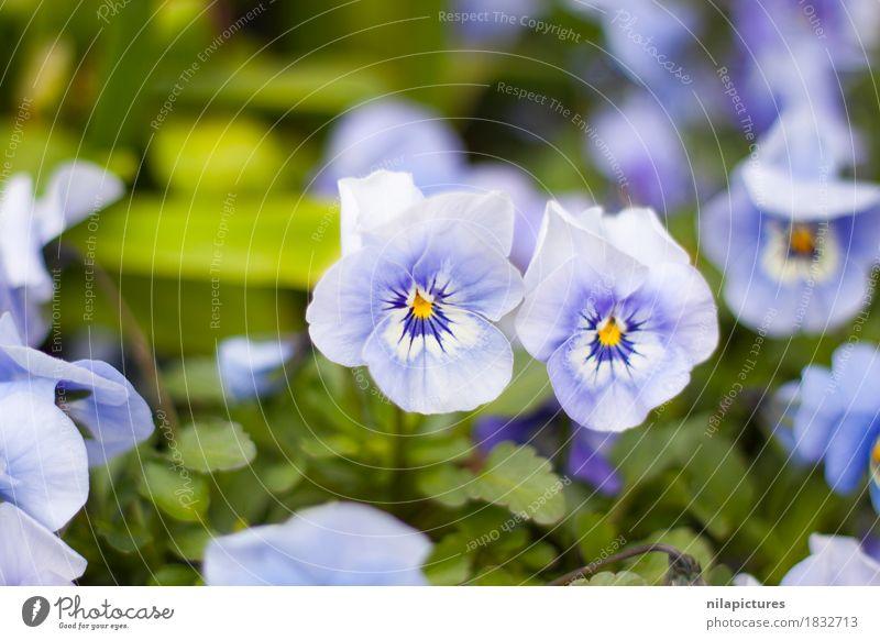 Blueten von Stiefmuetterchen elegant Stil Sommer Umwelt Natur Landschaft Pflanze Sonne Sonnenlicht Frühling Herbst Blume Gras Sträucher Blatt Blüte Grünpflanze