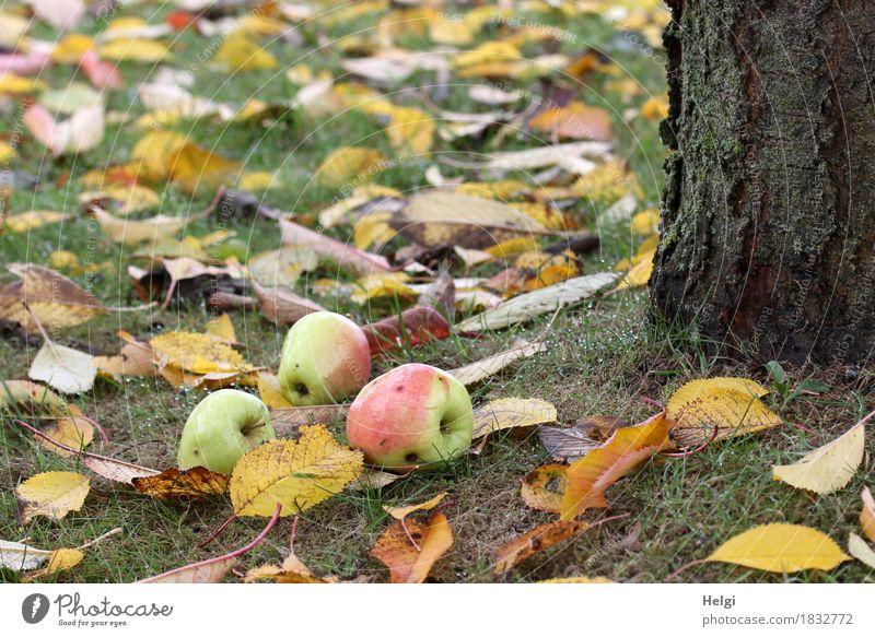 ...nicht weit vom Stamm... Lebensmittel Frucht Apfel Umwelt Natur Pflanze Herbst Baum Gras Nutzpflanze Baumstamm Garten liegen stehen dehydrieren Wachstum