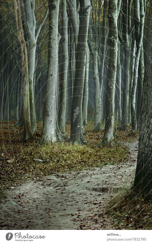 der wald und die bäume... Baum dunkel Wald Fußweg gruselig Pfütze Buche Buchenwald Gespensterwald Nienhagen