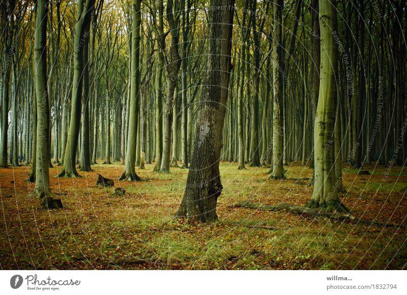der augenbaum Natur Wald herbstlich Laubwald Buchenwald Gespensterwald Nienhagen