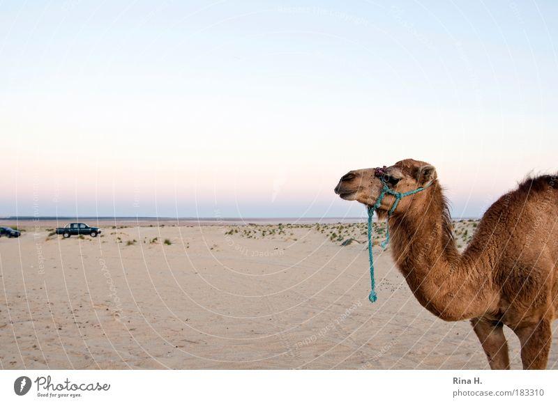 Konkurrenz Natur Landschaft 1 Tier Sand Ausdauer Ferien & Urlaub & Reisen Freizeit & Hobby Dienstleistungsgewerbe Vergangenheit kamel Dromedar Wüste Abenteuer