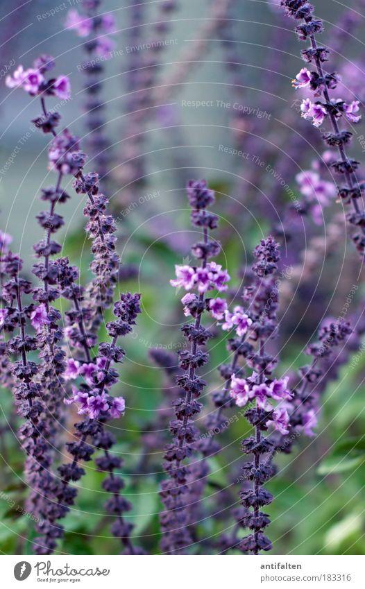 Lavandula angustifolia Natur Blume grün blau Pflanze Kräuter & Gewürze Blüte Park Gesundheit Unschärfe Sträucher violett natürlich genießen Farbe Detailaufnahme