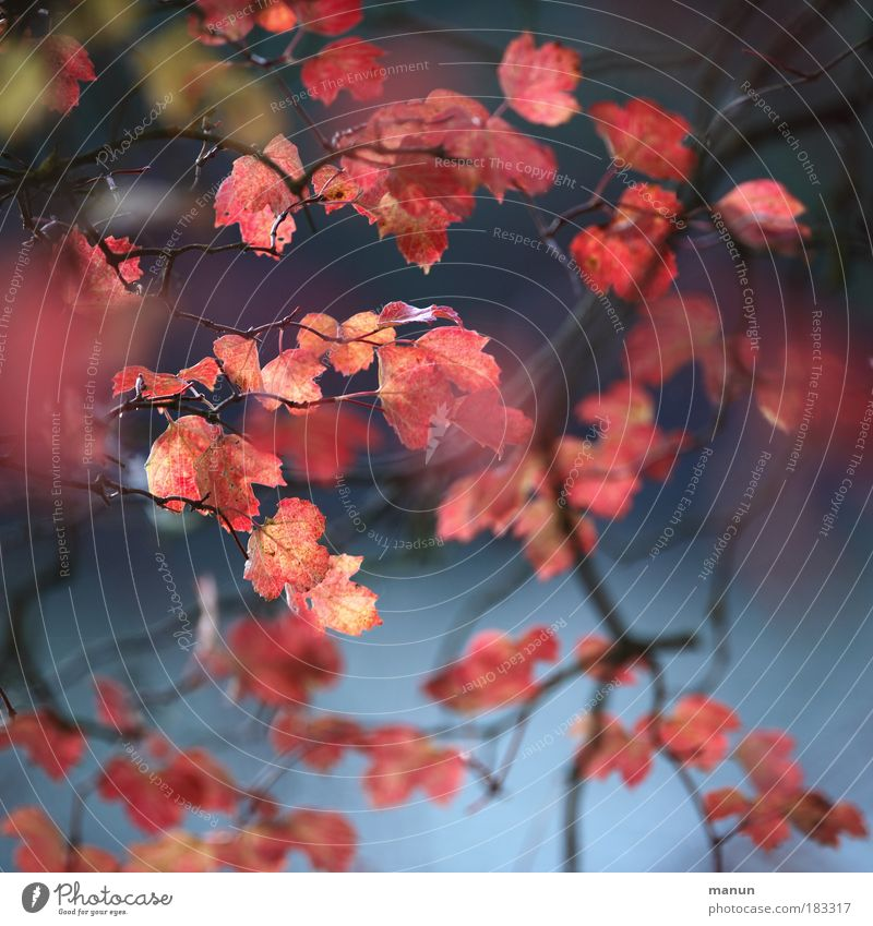 Erröten Natur blau Baum Blatt ruhig Erholung Herbst Stil Park Zufriedenheit rosa natürlich elegant Design frisch Fröhlichkeit