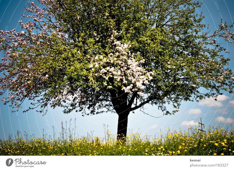 Baum des Lebens Umwelt Natur Landschaft Pflanze Himmel Wolken Frühling Sommer Schönes Wetter Blume Gras Blüte Grünpflanze Nutzpflanze Kirschbaum Kirschblüten
