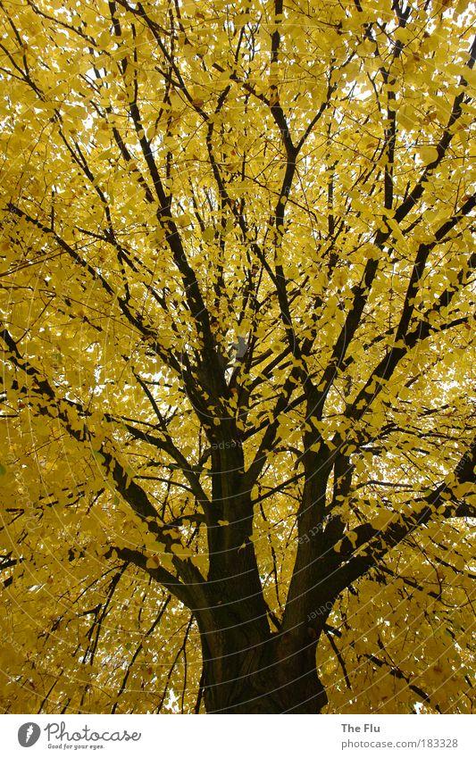 Herbstgold Farbfoto Außenaufnahme Menschenleer Tag Froschperspektive Natur Pflanze Wetter Baum Wald Stadtrand träumen braun gelb Gefühle Sehnsucht Perspektive