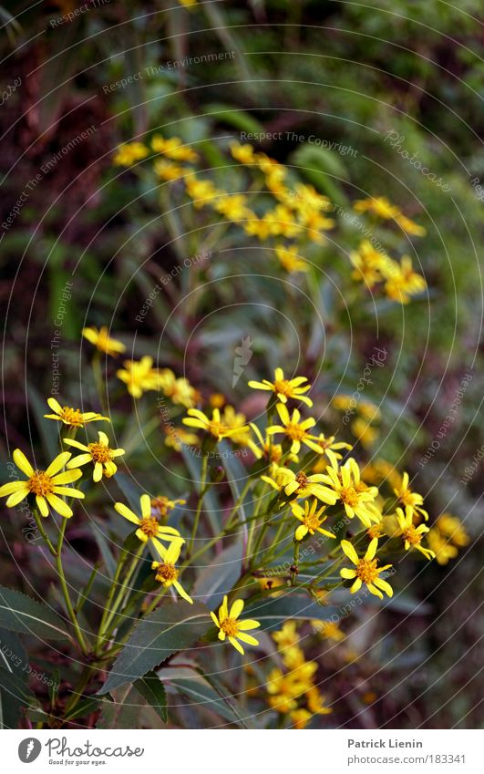 Bunja Umwelt Natur Pflanze Frühling Blume Blüte Grünpflanze Wildpflanze exotisch Wald Berge u. Gebirge gelb Korbblütengewächs Australien Sonne ruhig grün