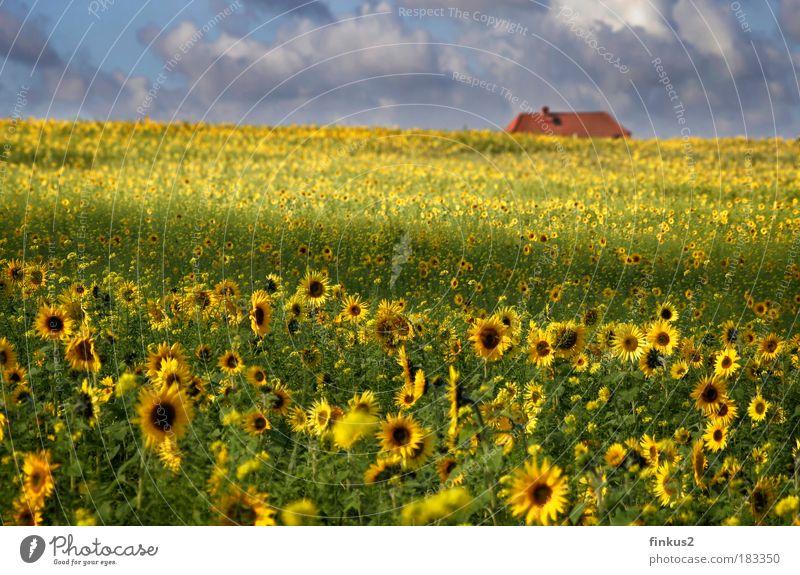 Sunflowerfields for ever Farbfoto mehrfarbig Außenaufnahme Menschenleer Tag Licht Schatten Sonnenlicht Unschärfe Schwache Tiefenschärfe Totale Landschaft