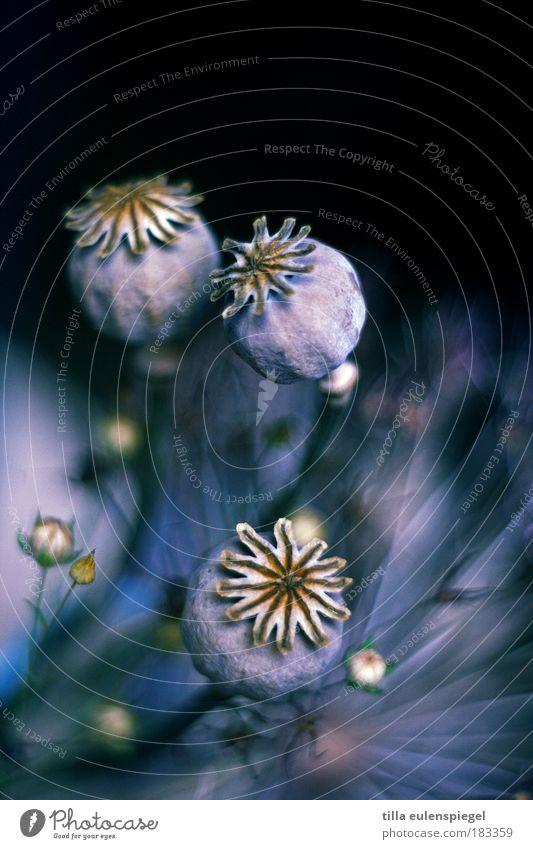 . Natur Blume schön blau Pflanze Winter schwarz Jahreszeiten Farbe dunkel kalt Herbst Gras Umwelt Stern (Symbol) ästhetisch