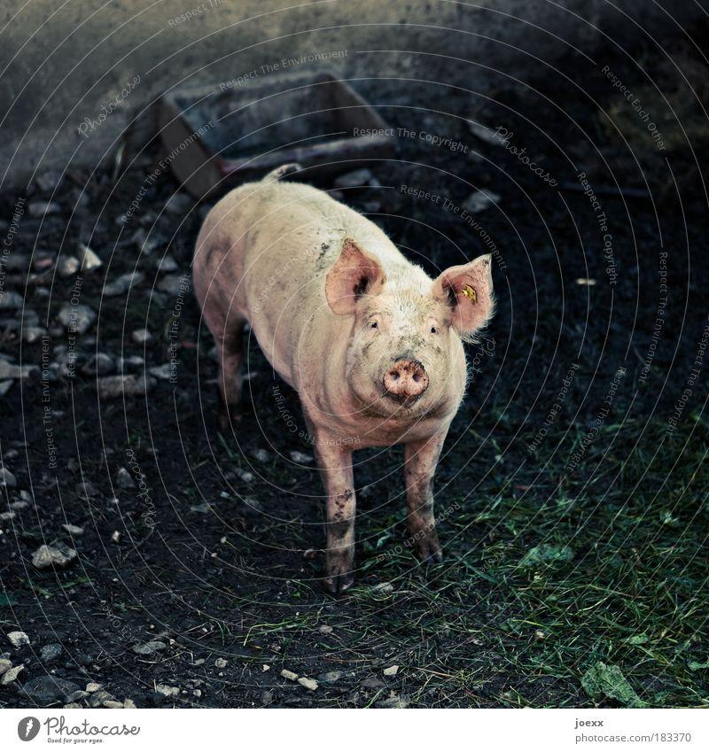 Wirst Du mich essen? Schwein Tier Einsamkeit Gefühle Traurigkeit Denken Angst rosa dreckig Behälter u. Gefäße Nutztier Tierliebe Stall Gehege Mitgefühl Kopf