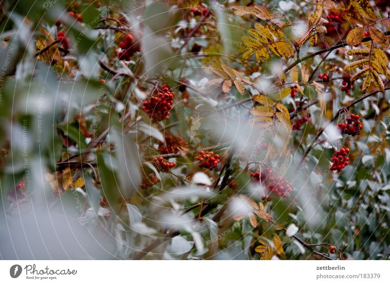 Blätter und Beeren Pflanze Herbst Ostsee Rügen November Herbstlaub Oktober Textfreiraum Mecklenburg-Vorpommern Unschärfe Vogelbeerbaum Esche