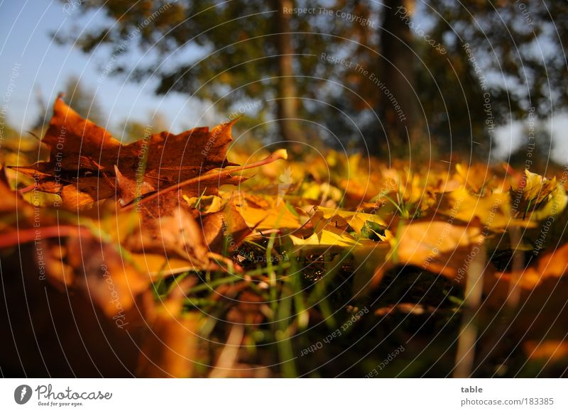Bodenhaltung Farbfoto Nahaufnahme Froschperspektive Umwelt Natur Landschaft Pflanze Herbst Schönes Wetter Baum Gras Blatt Ahornblatt Wiese liegen stehen