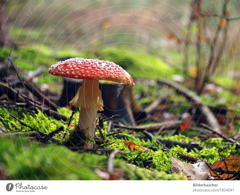 Schöner Giftpilz Natur rot Blatt Wald Herbst Gras Symbole & Metaphern Pilz Moos Waldboden Glücksbringer Fliegenpilz Glückskind Baumstumpf Manschette