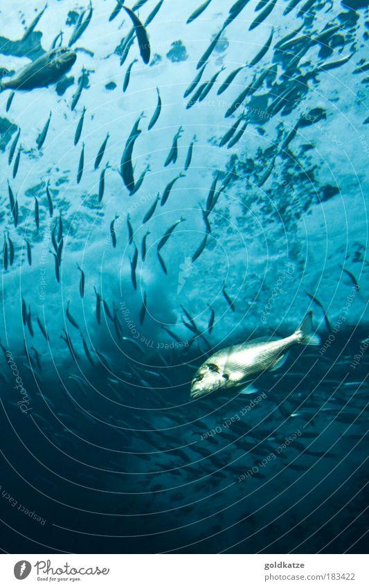 Schwarm Natur Unterwasseraufnahme Wasser blau Meer ruhig Tier kalt Umwelt Bewegung glänzend nass Schwimmen & Baden frisch Fisch Klima