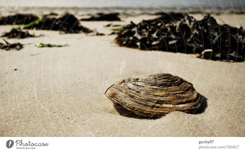 Einsame Muschel Natur Wasser Meer Pflanze Sommer Strand ruhig Einsamkeit Ferne Sand Küste Insel Vergänglichkeit Ferien & Urlaub & Reisen Nordsee