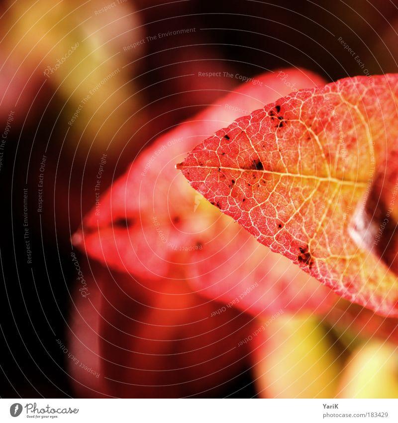 herbstglühen Natur rot Pflanze Farbe Wiese Herbst Beleuchtung Park Stimmung Feld Sträucher Spitze fein intensiv Wildpflanze
