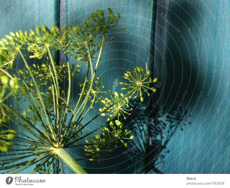 Holde Dolde Natur blau grün Pflanze Sommer gelb Blüte türkis Stengel Gartenarbeit Nutzpflanze Holzwand Unkraut Heilpflanzen Paneele Doldenblüte