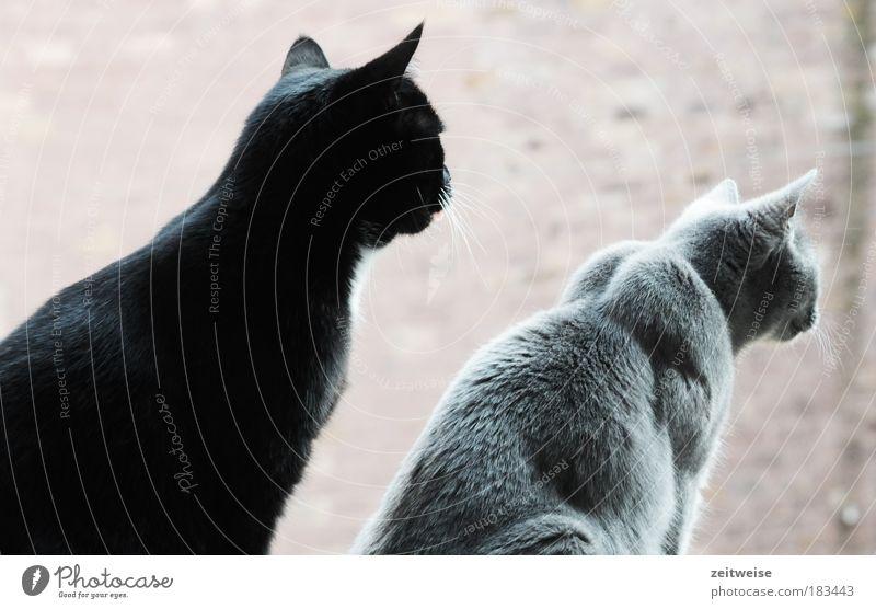 kohlmeise schwarz Tier grau Katze Zusammensein warten sitzen beobachten Fell Neugier niedlich Haustier Schnurrhaar 2 Katzenohr