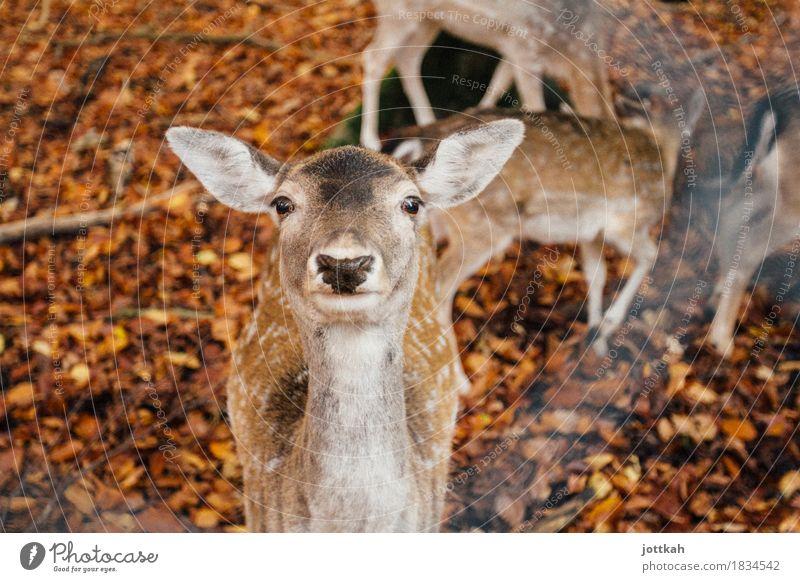 Reh guckt neugierig mit aufgestellten Ohren in die Kamera Umwelt Natur Herbst Tier Wildtier Tiergesicht Fell Zoo Damwild 1 Tiergruppe stehen nah Neugier