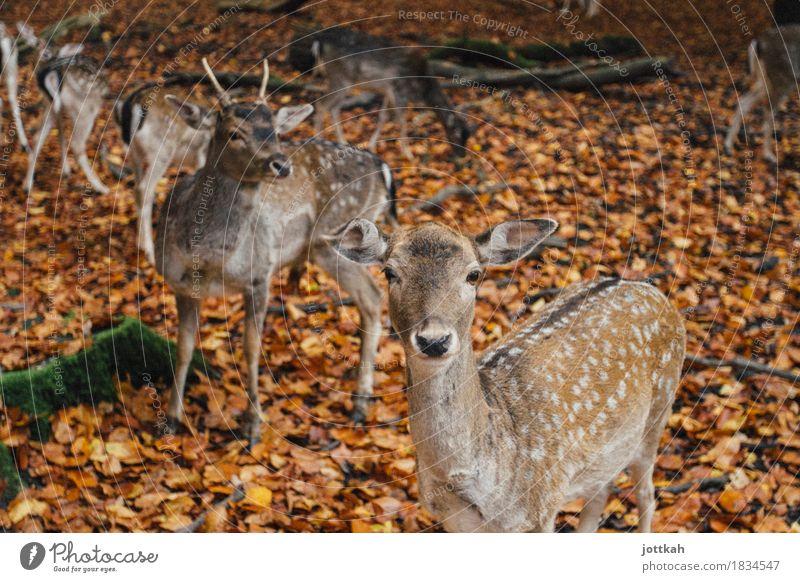 Rehrehreh Natur Herbst Tier Wildtier Tiergesicht Fell Zoo Rehauge Damwild 4 Tiergruppe Rudel Tierfamilie stehen natürlich Neugier niedlich Wärme braun orange