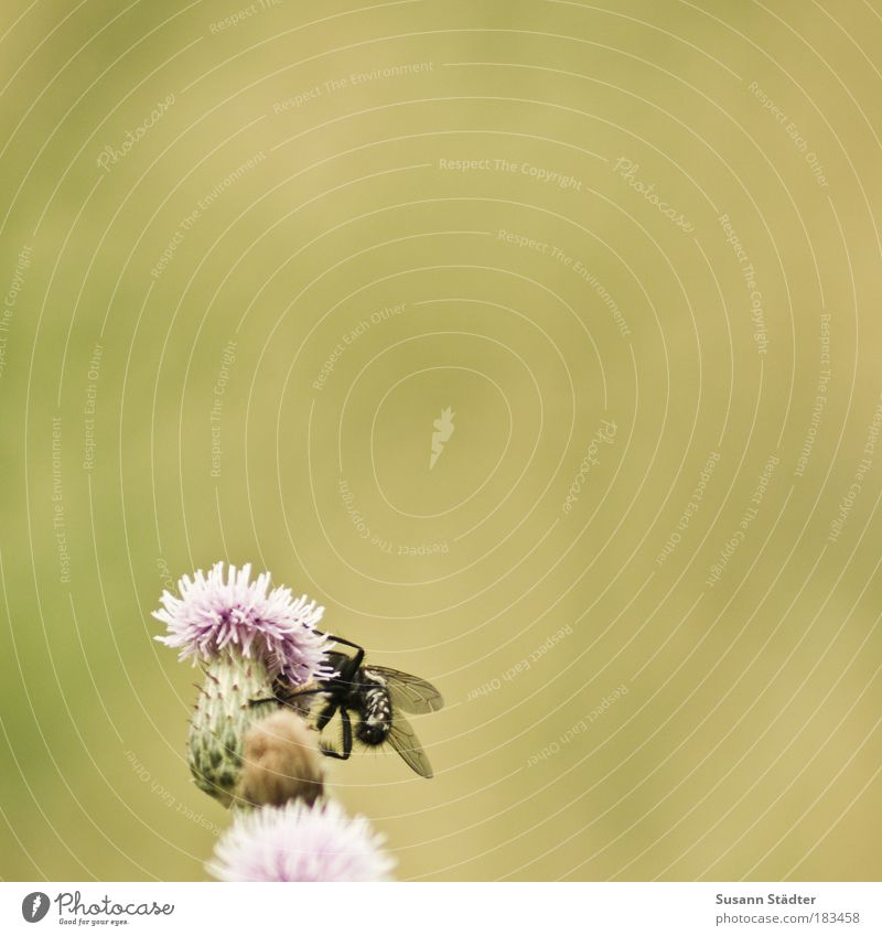 Leckerei Blume Pflanze Sommer schwarz Tier Wiese Blüte Gras Feld rosa Fliege fliegen Sträucher Flügel Insekt